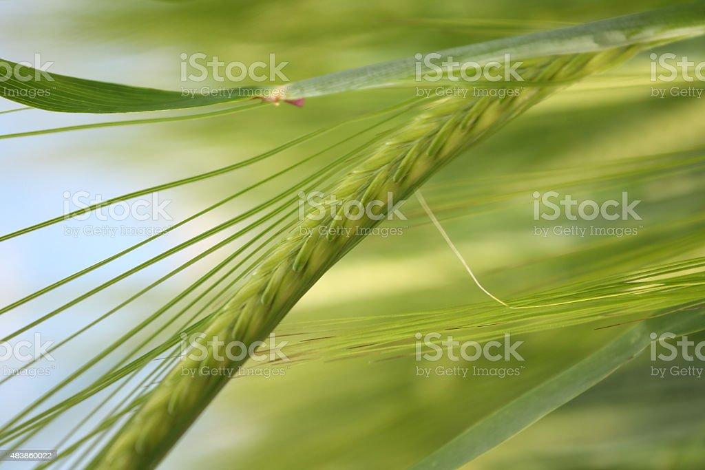 Swaying corn in field stock photo