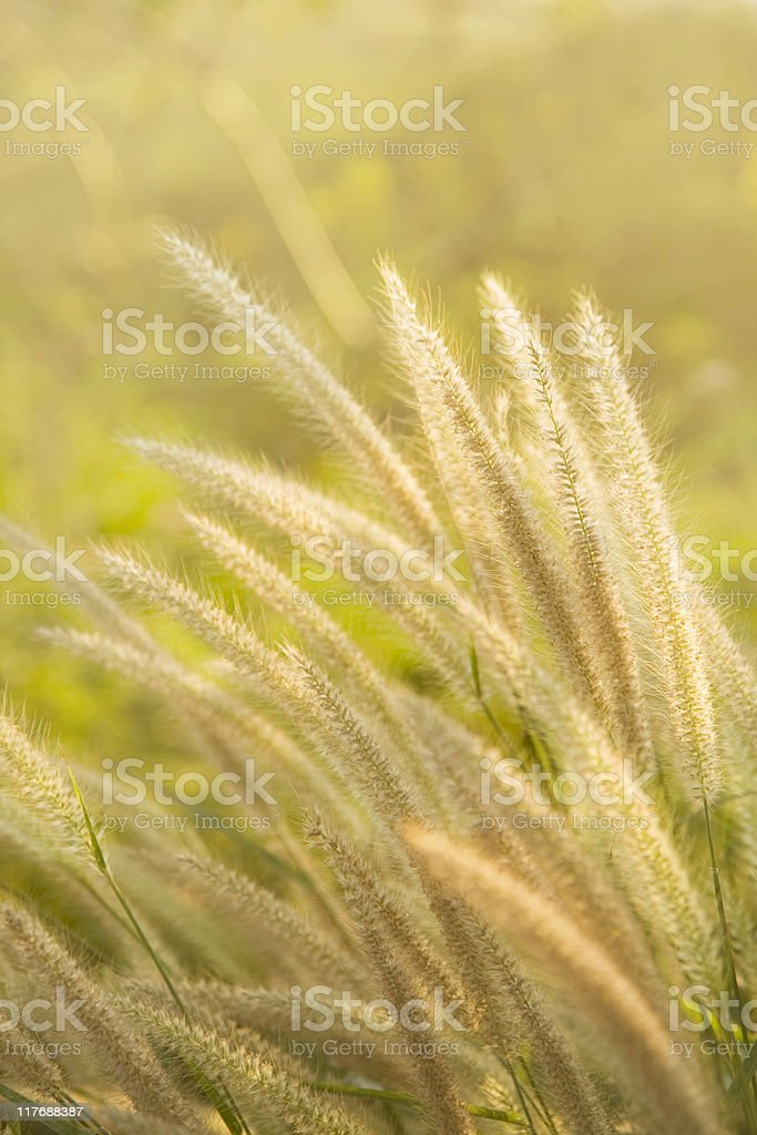 Swaying foxtails stock photo