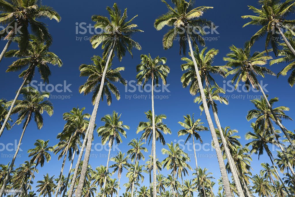 Swaying palm trees in a coconut grove. stock photo
