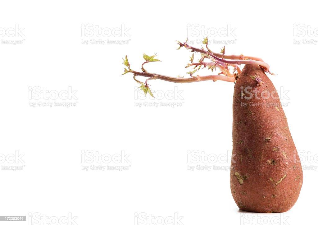 swaying sweet potato stock photo