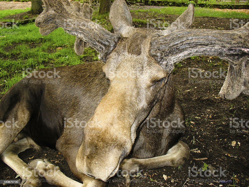 Swedish elk stock photo