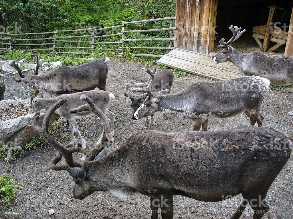 Swedish reindeer royalty-free stock photo
