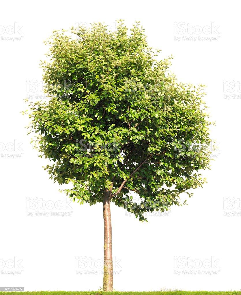 Swedish Whitebeam tree isolated on white (Sorbus intermedia). royalty-free stock photo