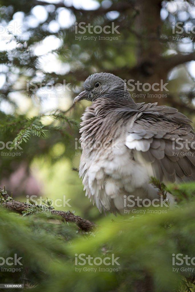 Schwedische junge pigeon Lizenzfreies stock-foto