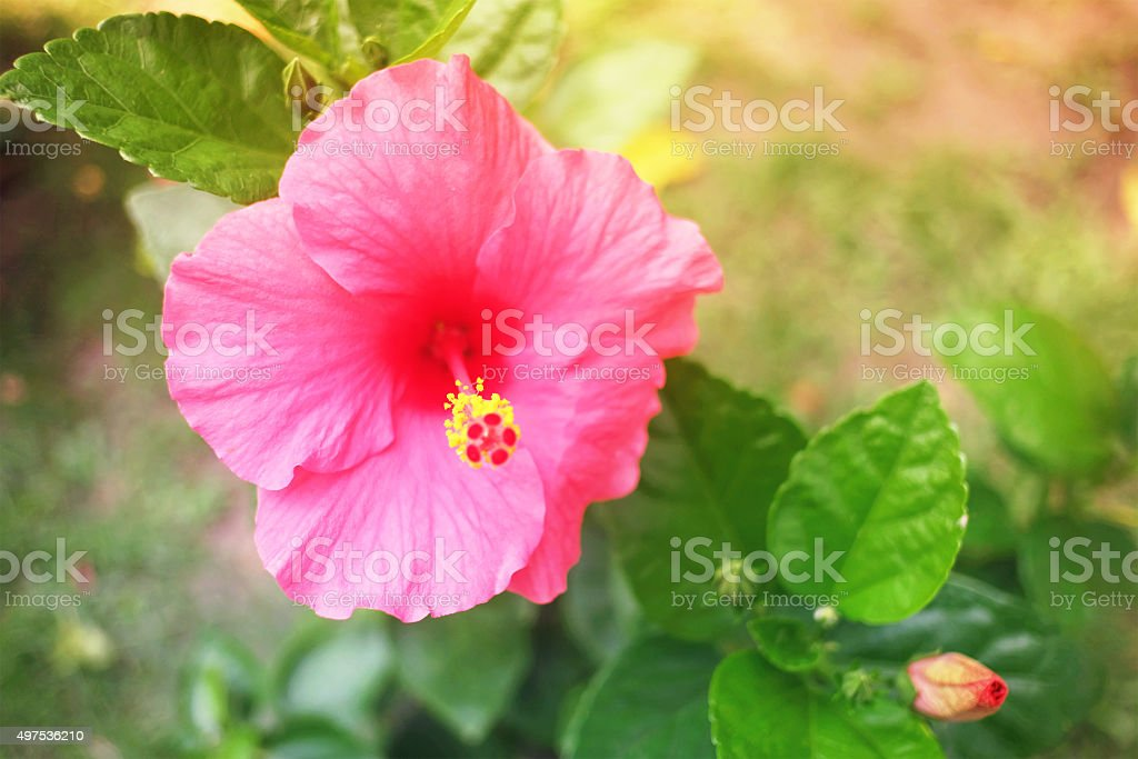 Sweet and Soft Hibiscus in vintage color stock photo
