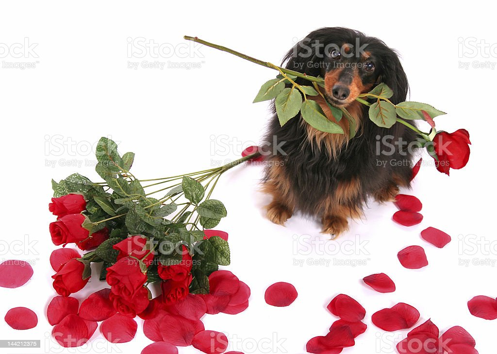 Sweet as a Rose royalty-free stock photo