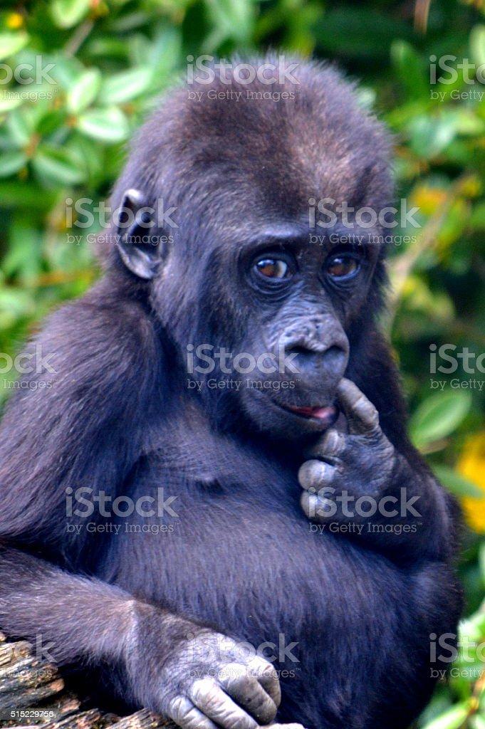 Sweet baby gorilla stock photo