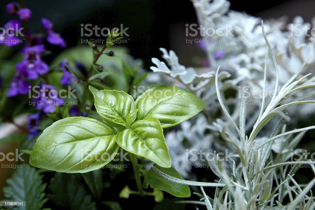 Sweet Basil in Garden stock photo