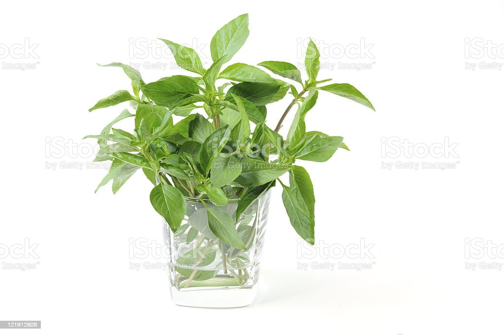 Sweet Basil stock photo