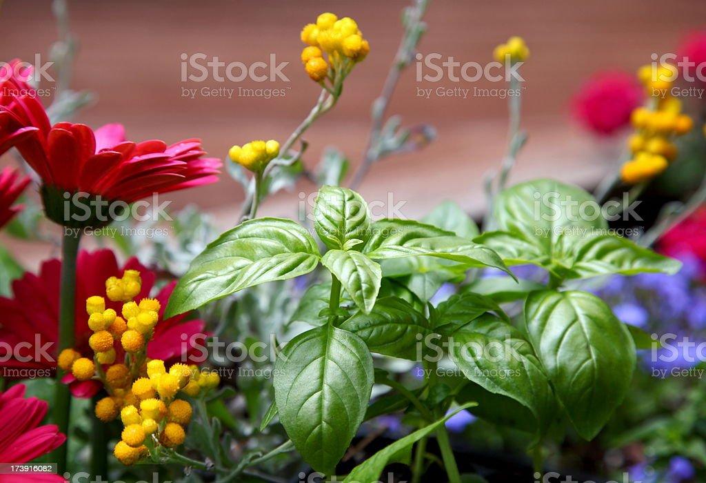 Sweet Basil Plants Growing in Garden royalty-free stock photo