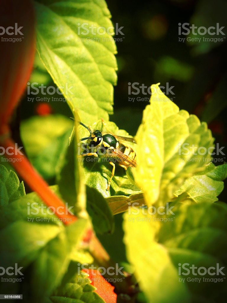 sweet Bee Close Up royalty-free stock photo