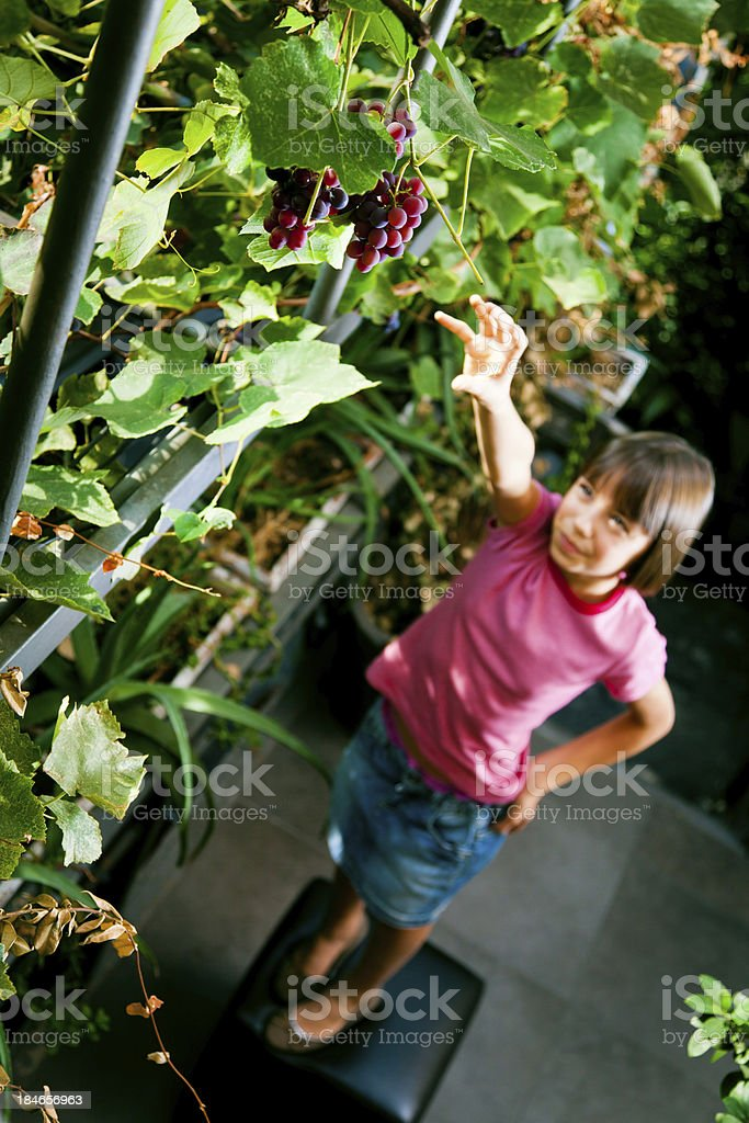 sweet but unreachable grapes stock photo