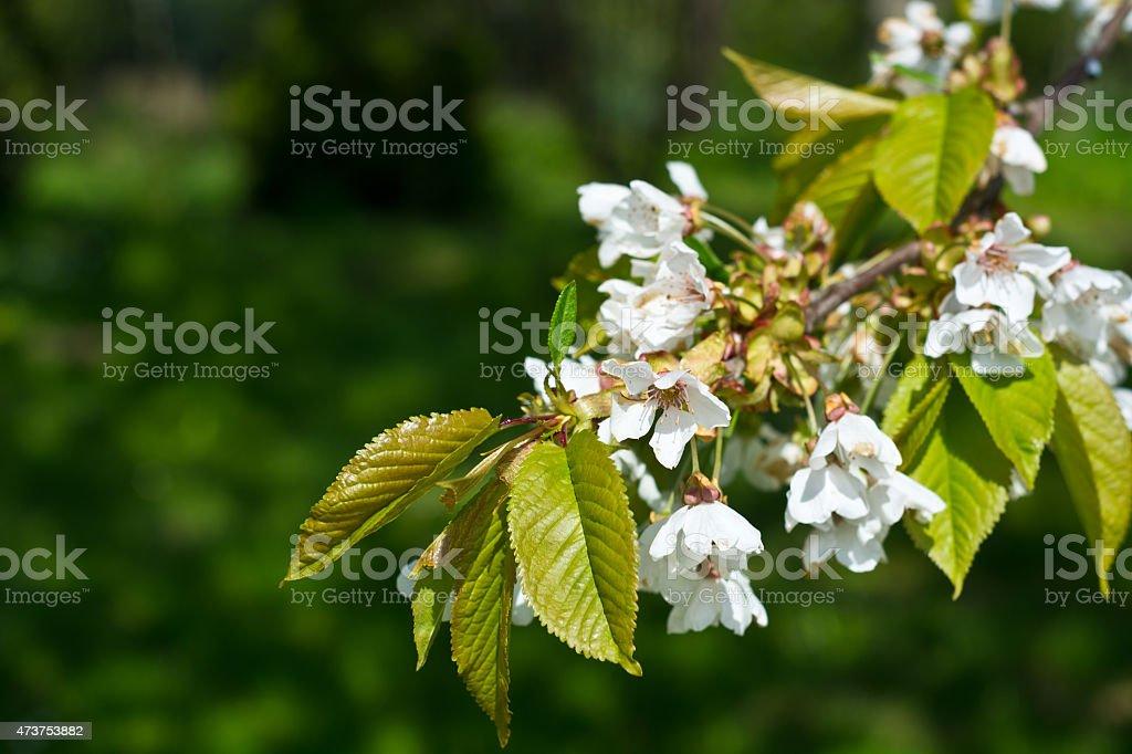 Sweet cerezos en flor foto de stock libre de derechos