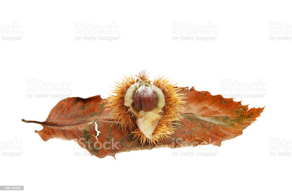 Sweet chestnut and leaf stock photo