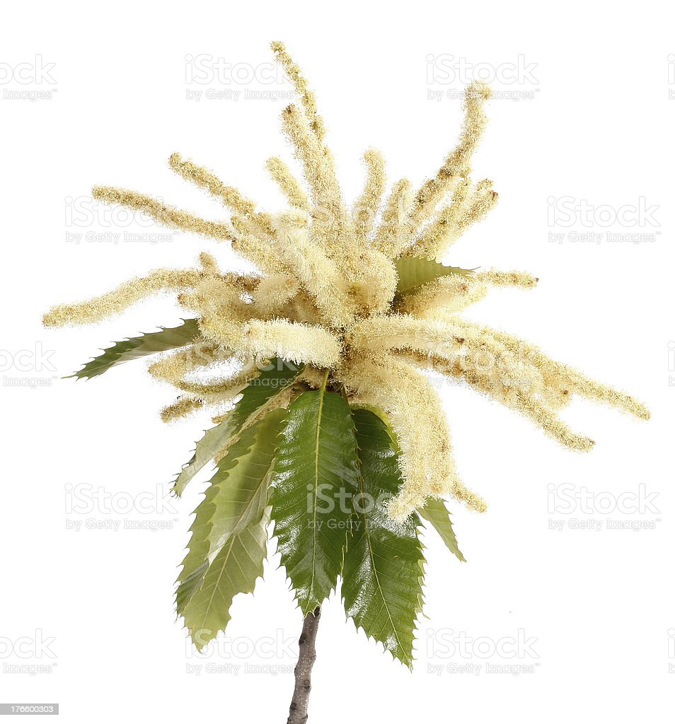 Sweet chestnut blossoming branch royalty-free stock photo