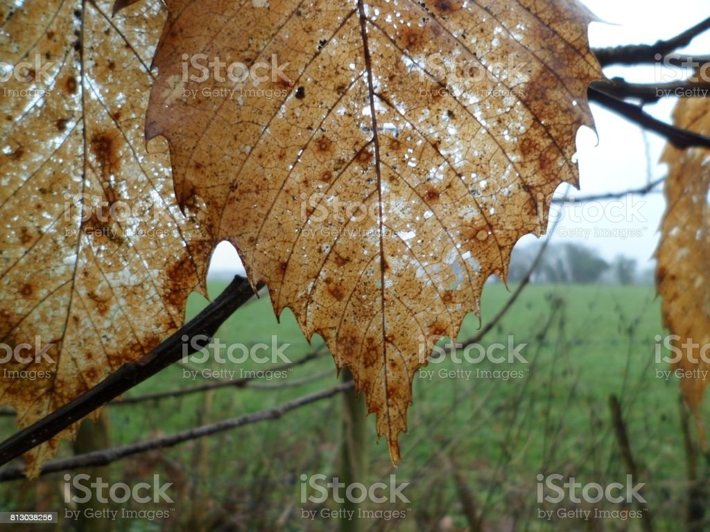 Sweet Chestnut Leaves In Late Autumn stock photo