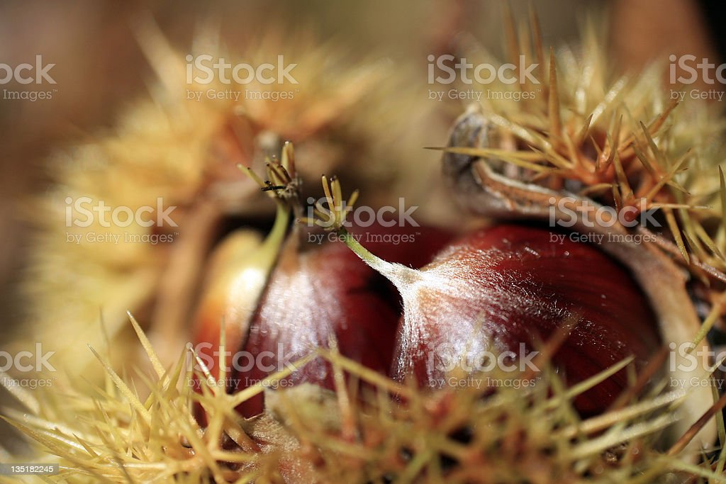 Sweet chestnut royalty-free stock photo