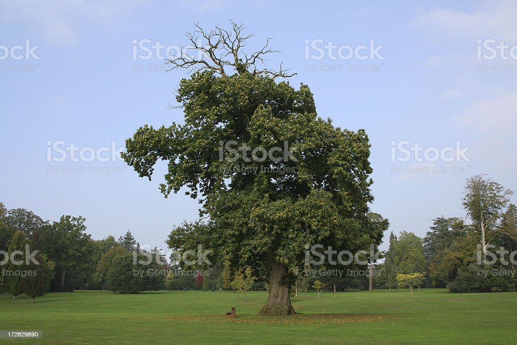 Sweet Chestnut Tree in Autumn royalty-free stock photo