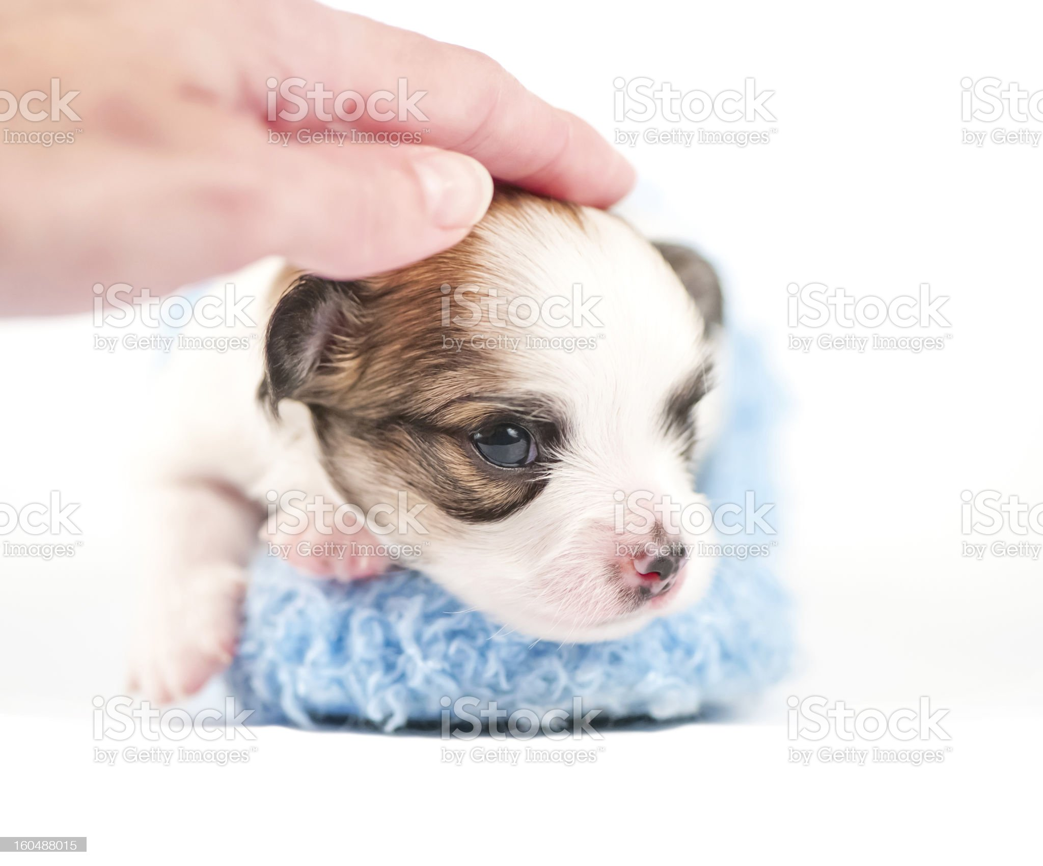 sweet Chihuahua  baby with caressing hand royalty-free stock photo
