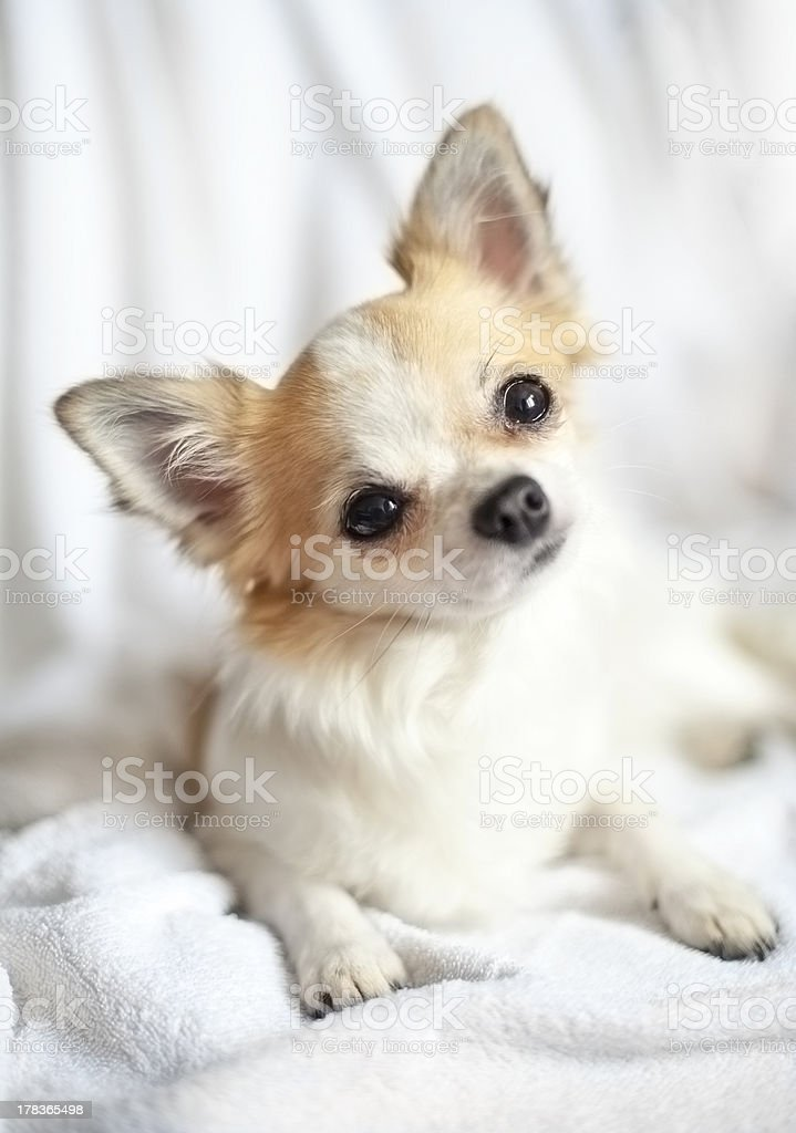 sweet chihuahua puppy close-up with tilting head stock photo