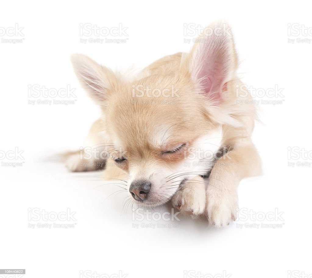 sweet chihuahua puppy royalty-free stock photo