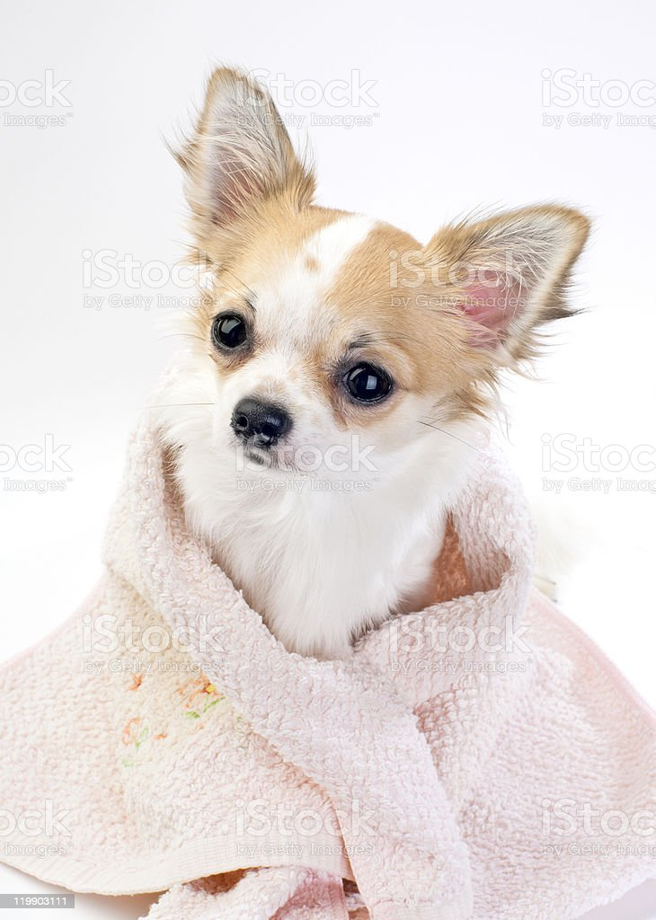 sweet chihuahua with pink towel close-up isolated royalty-free stock photo