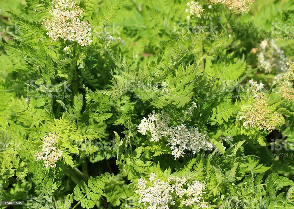 Sweet cicely royalty-free stock photo