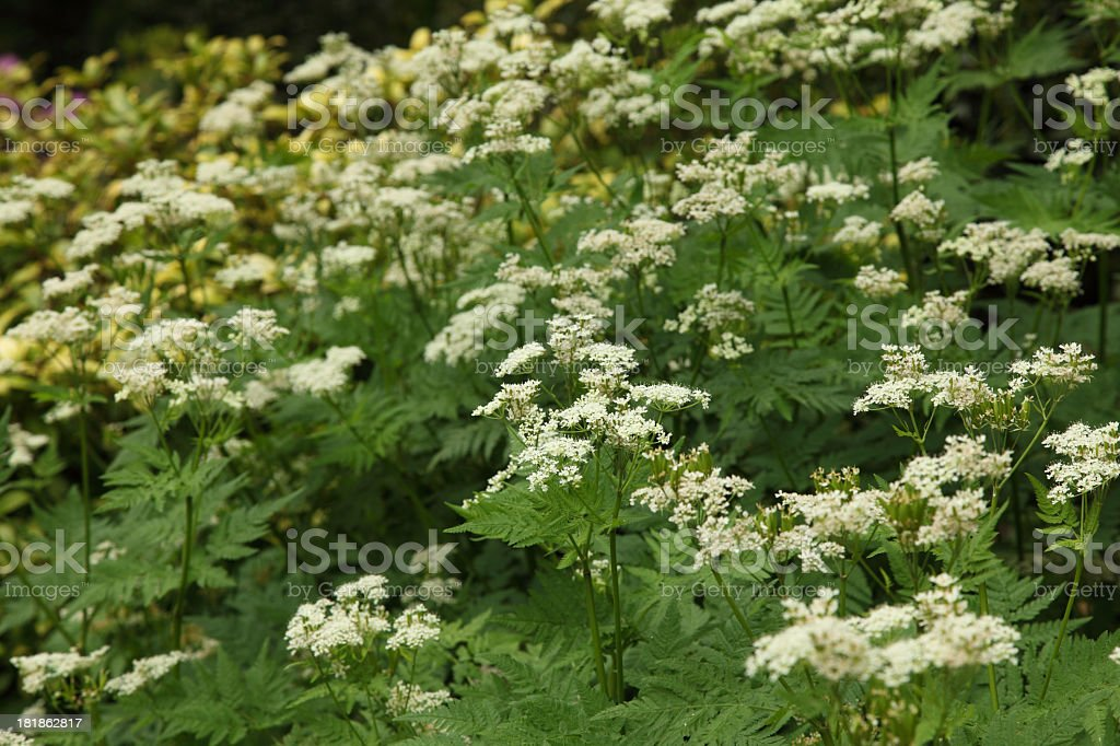 Sweet cicely stock photo