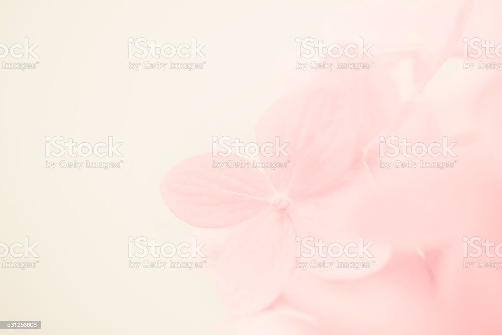 sweet color hydrangea in soft and blur style stock photo