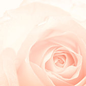 sweet color roses in vintage style for flora background