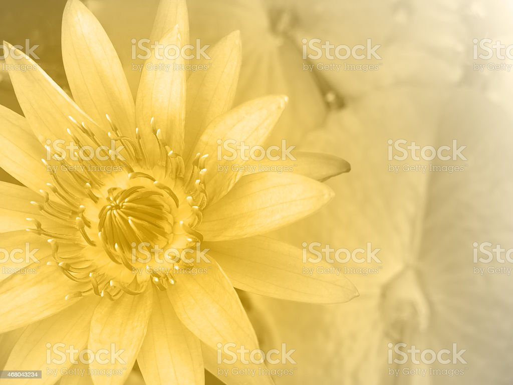 Sweet Color Water Lily stock photo