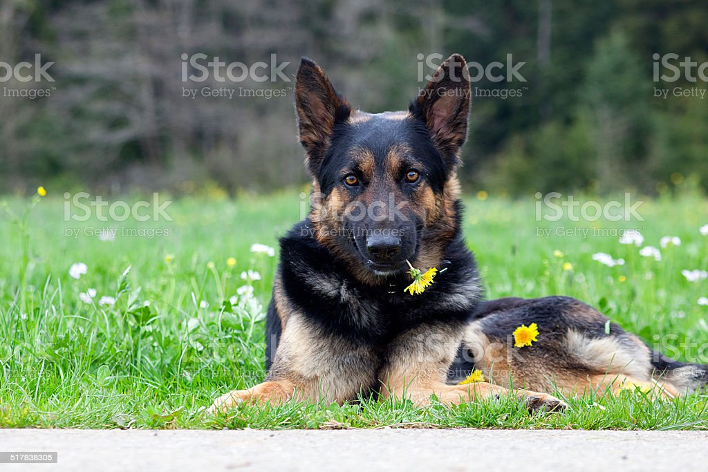 Sweet dog with flower say sorry stock photo