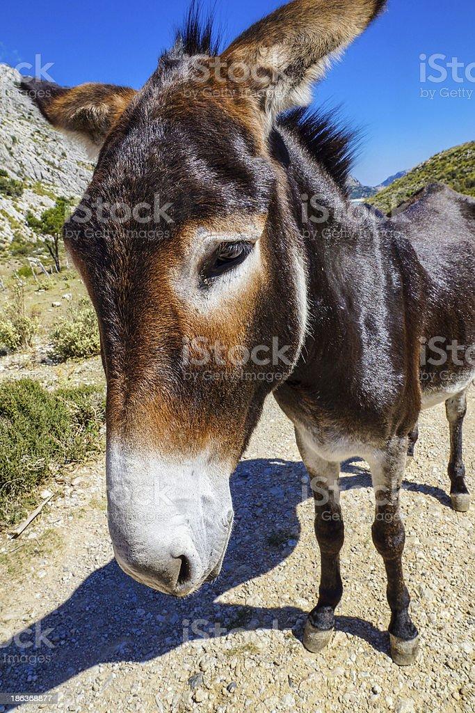 sweet donkey royalty-free stock photo