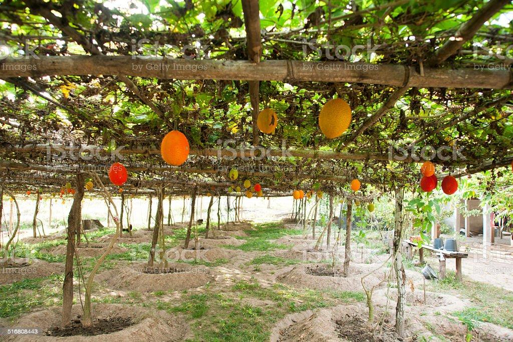 Sweet Gourd stock photo