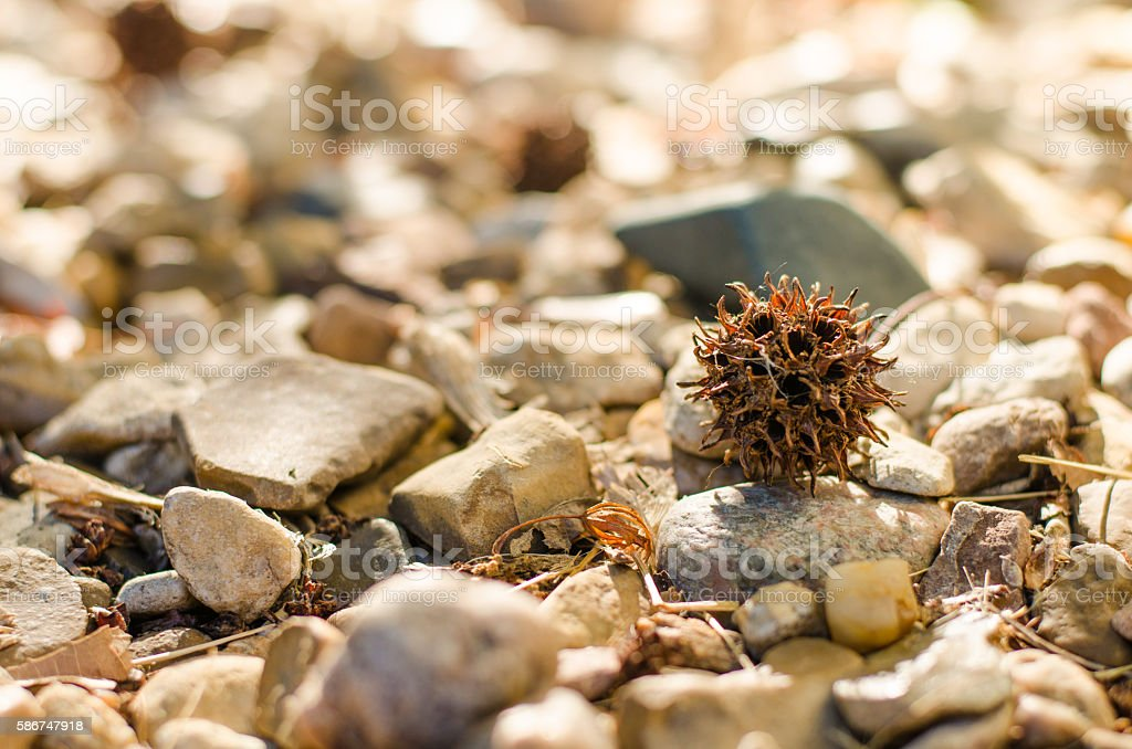Sweet Gum Tree Spiked Balls stock photo