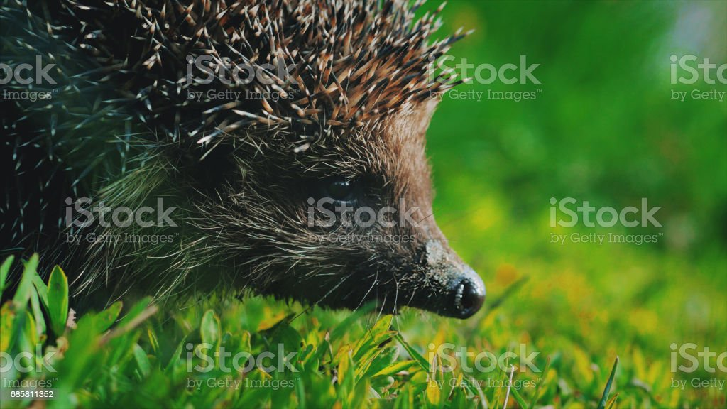 Sweet hedgehog in nature background. Natural light. Close up view stock photo
