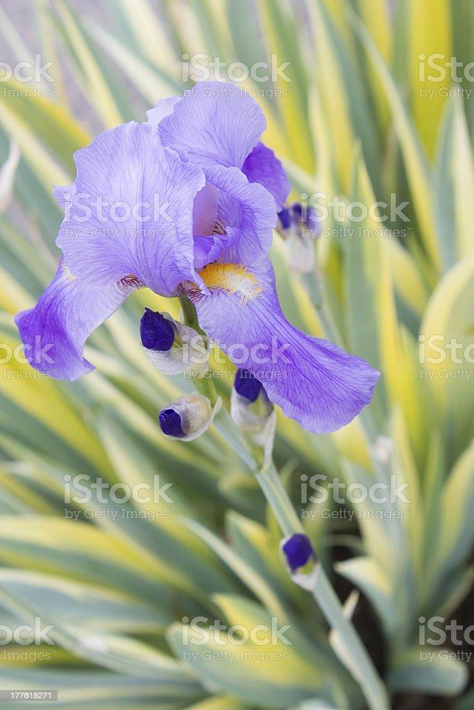 Sweet Iris royalty-free stock photo