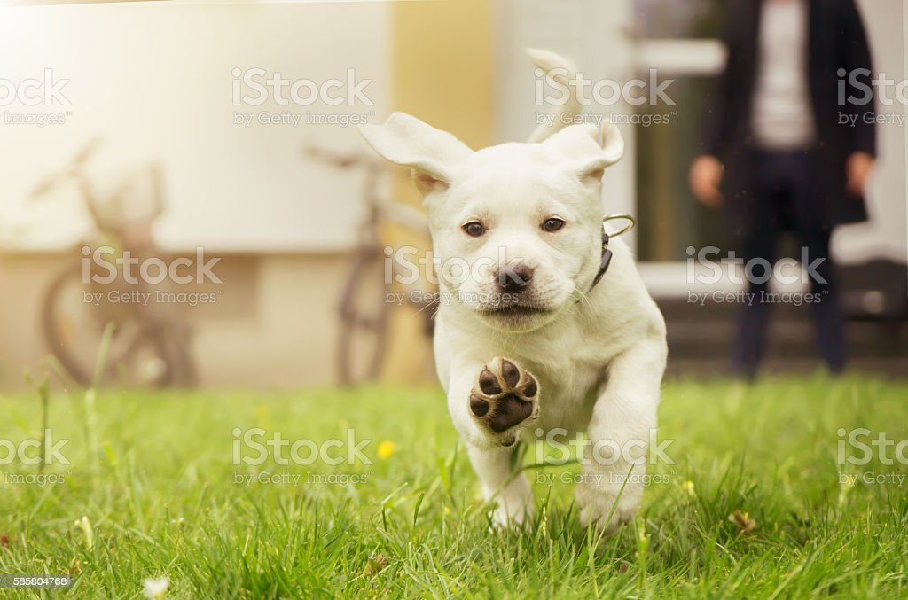 Sweet labrador puppy in meadow in motion showing dog paws stock photo