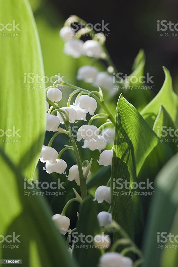 Sweet Lily royalty-free stock photo