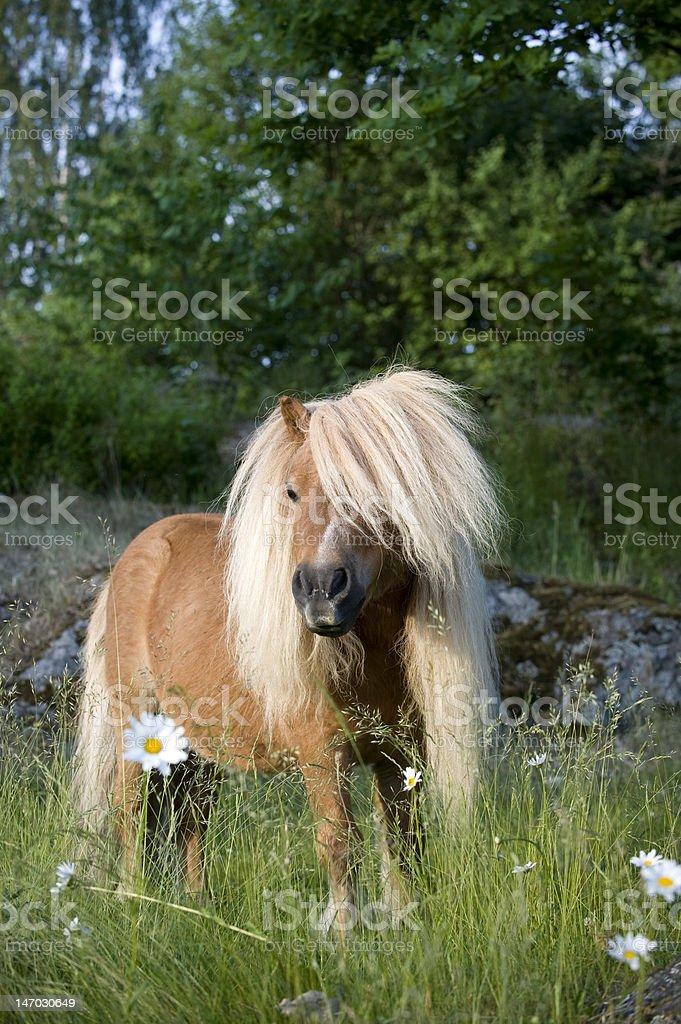 sweet little pony royalty-free stock photo
