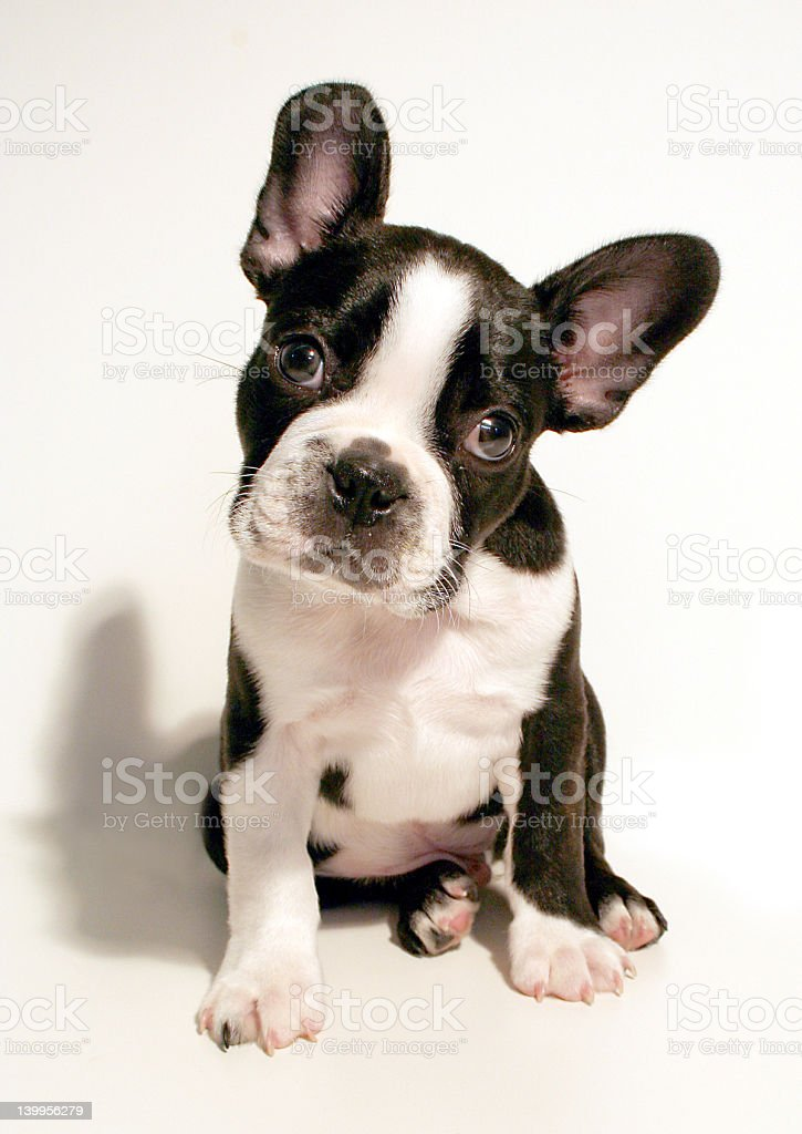 Sweet looking Boston terrier puppy stock photo