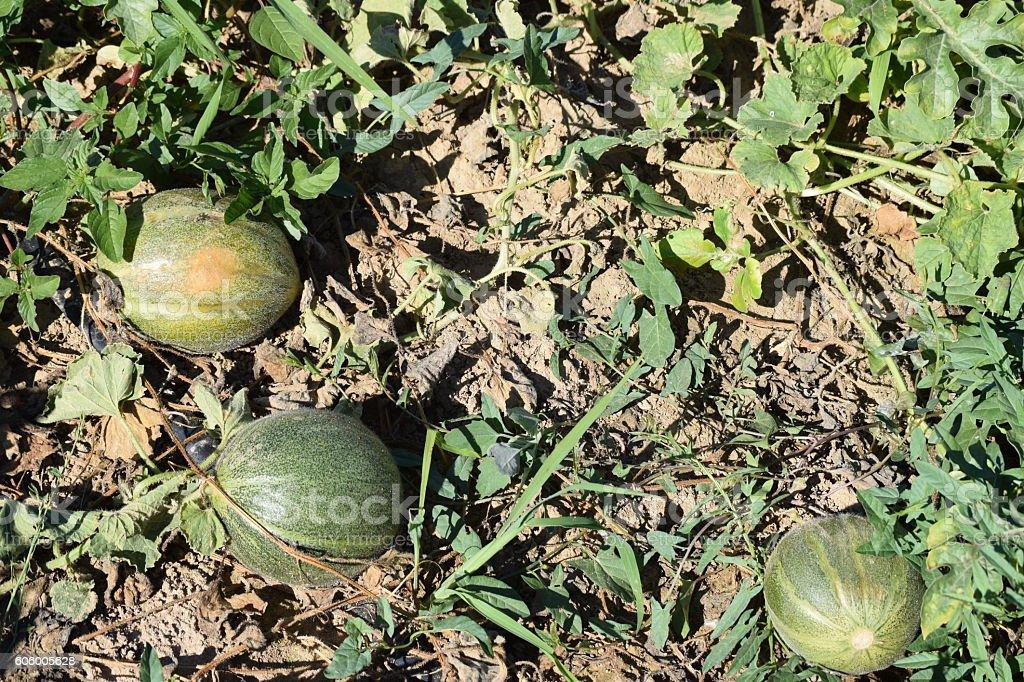 Sweet melon plants in the garden stock photo
