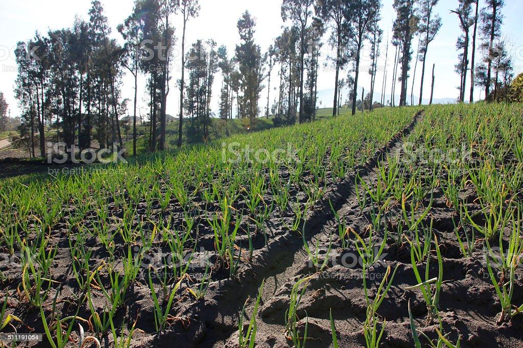 sweet onion plantation stock photo