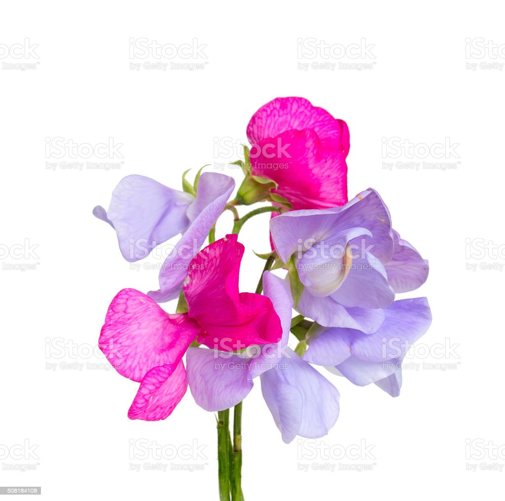 sweet pea blossoms isolated on white stock photo