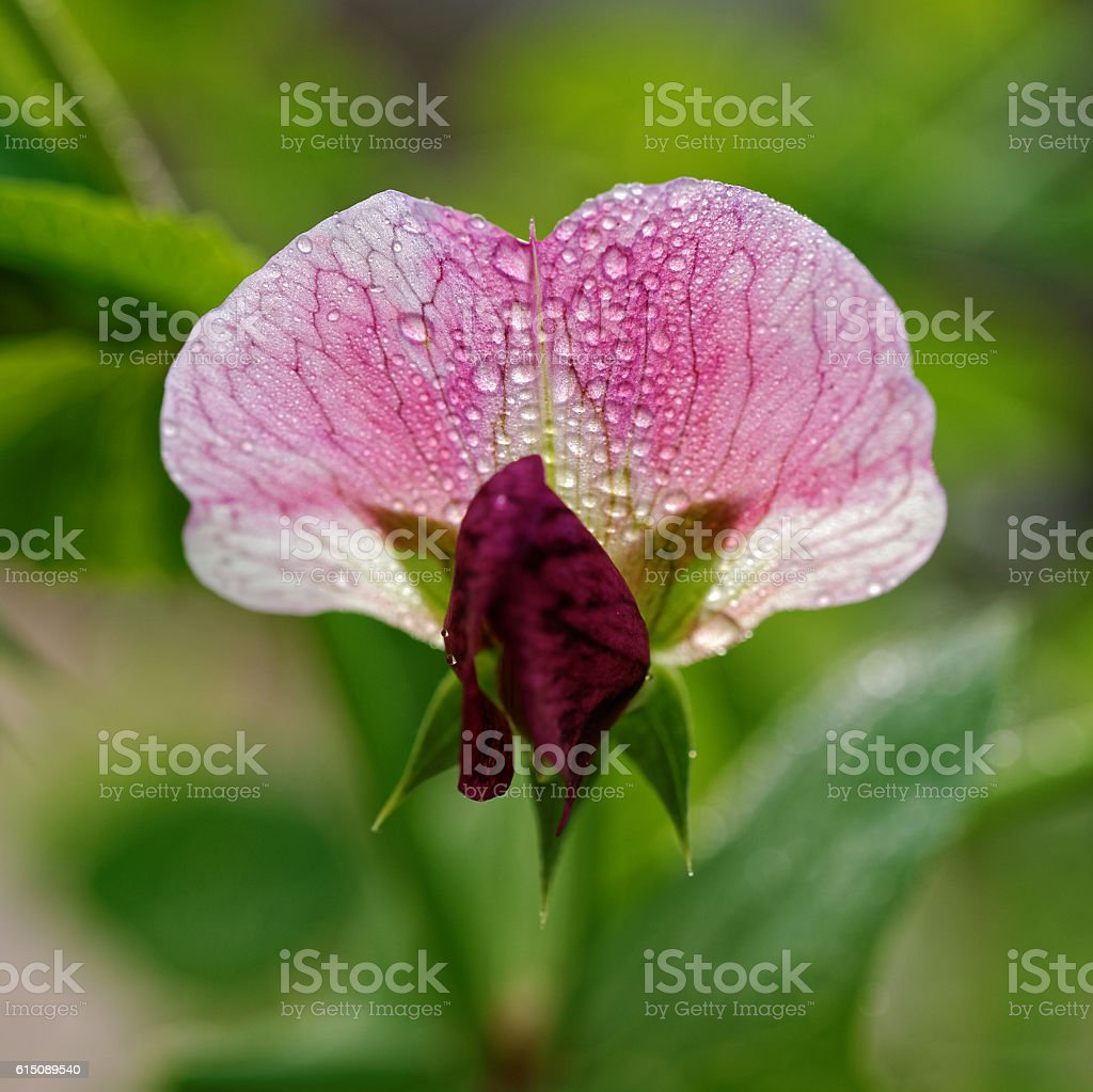 Sweet pea flower blooming outdoors stock photo