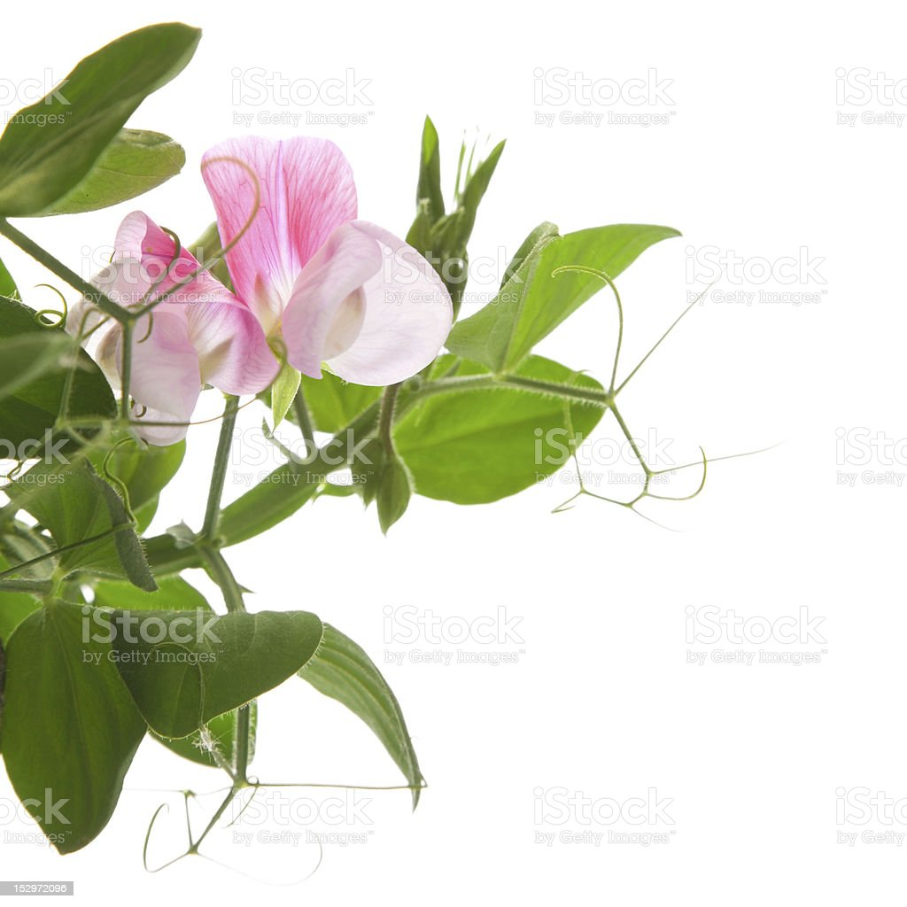 sweet pea royalty-free stock photo