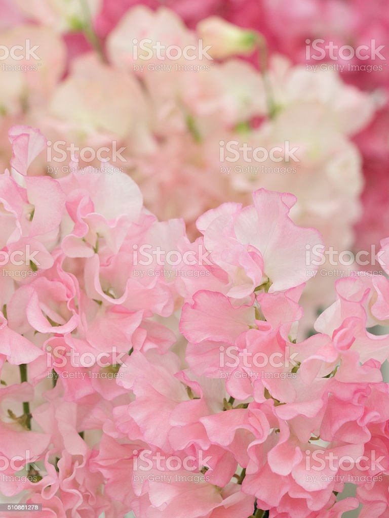 Sweet pea stock photo