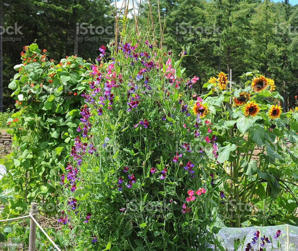 Sweet Peas (Lathyrus odoratus) Sunflower (Helianthus) Runner Beans (Phaseolus coccineus) stock photo