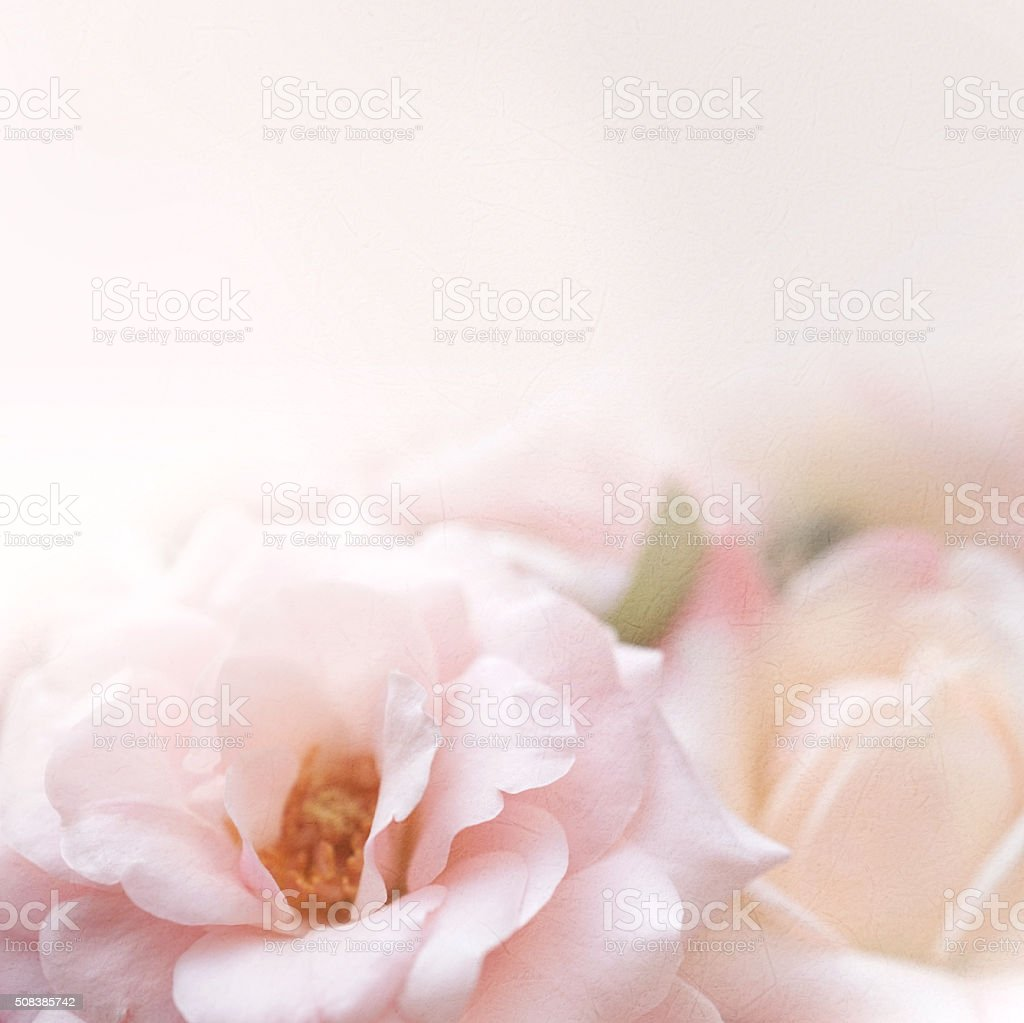 sweet pink roses in soft color  for romantic background stock photo