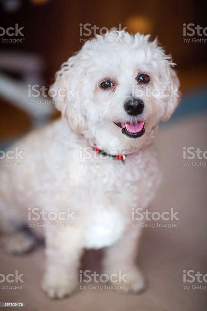 Sweet Poodle smiling stock photo